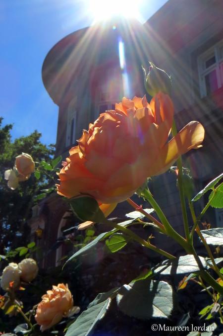 Sun rays on roses