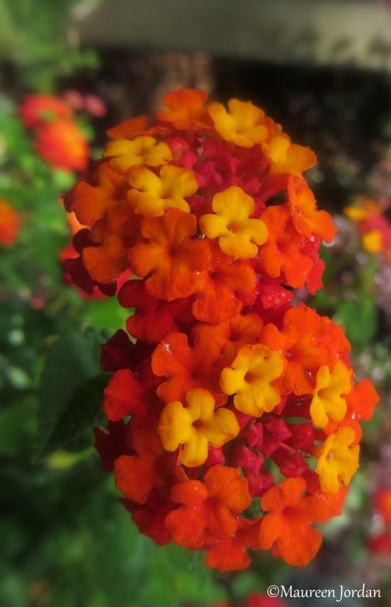 Orange Lantana Camara Flowers