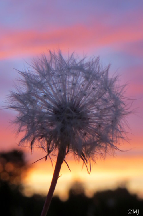 Dandelion against sunset skies
