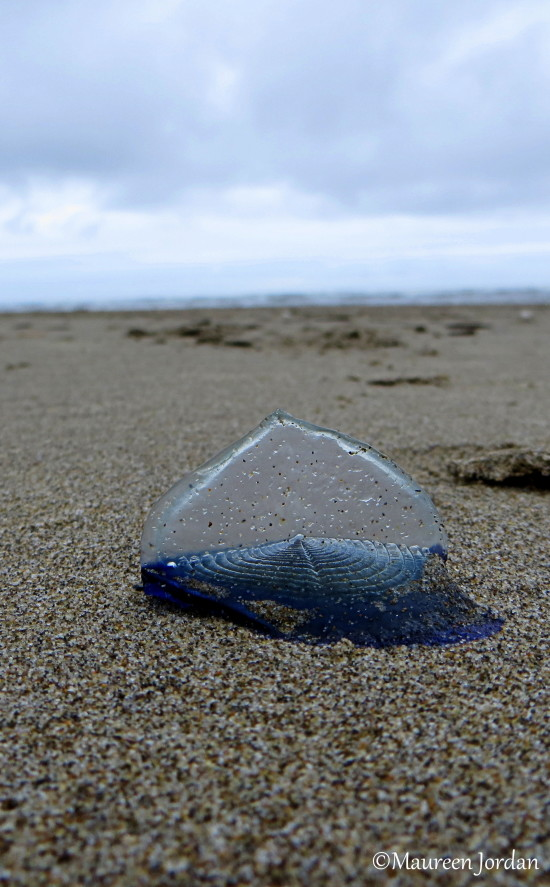 Velella Jellyfish, Cannon Beach, Oregon