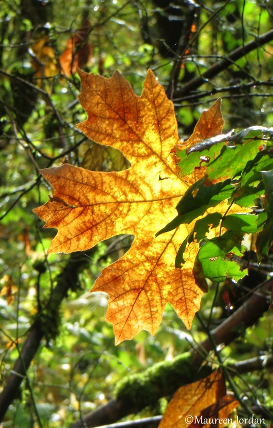 Sunlit fall leaf in the Camassia Natural Area, West Linn, Oregon