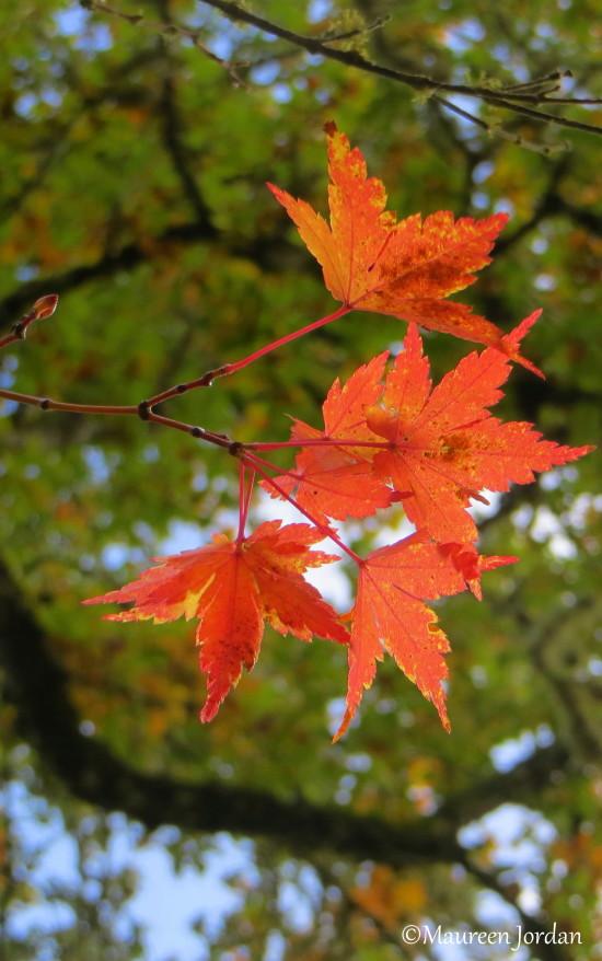 Orange leaves, West Linn, Oregon