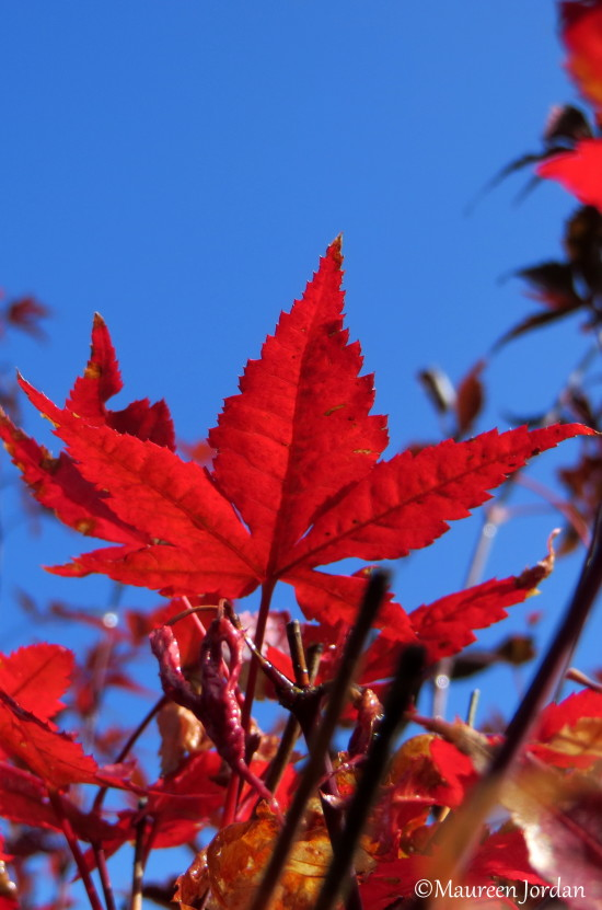 Red leaf, West Linn, Oregon