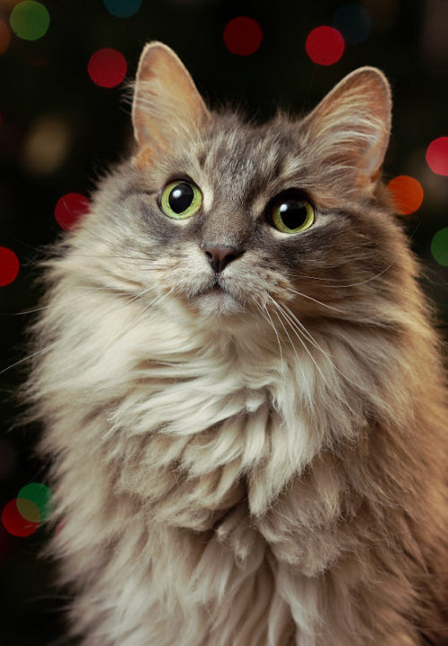 Cat in front of a Christmas tree