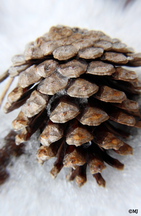 Ice covered pine cone