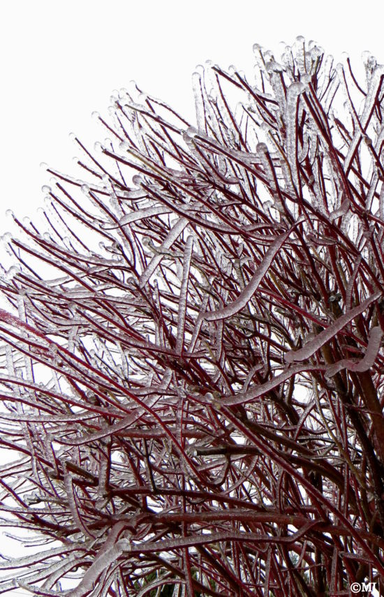 Red branches transformed in a winter wonderland