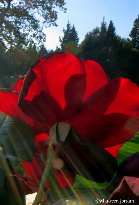 Red rose with sunbeams