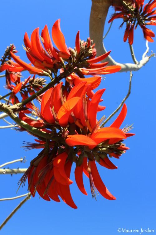 Coral tree blooms
