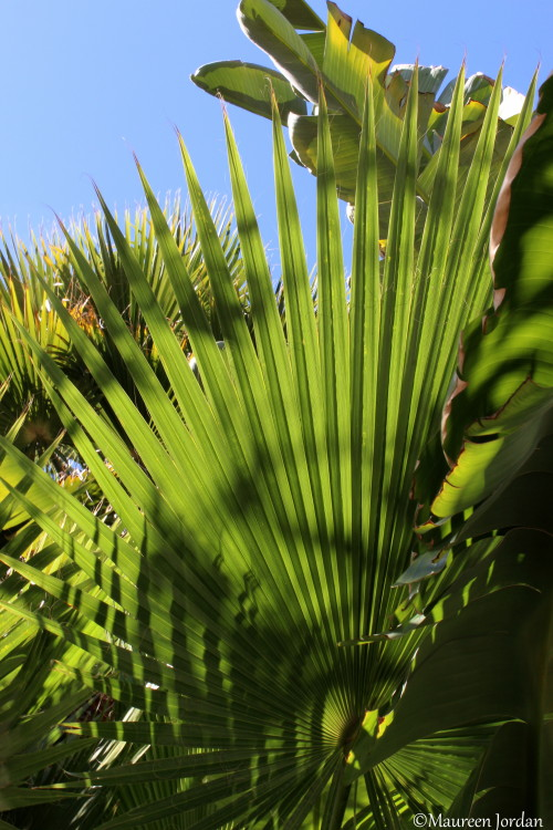 Fan palm tree