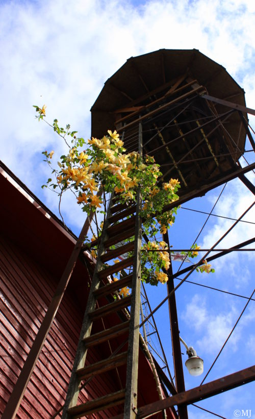 Roses and water towers