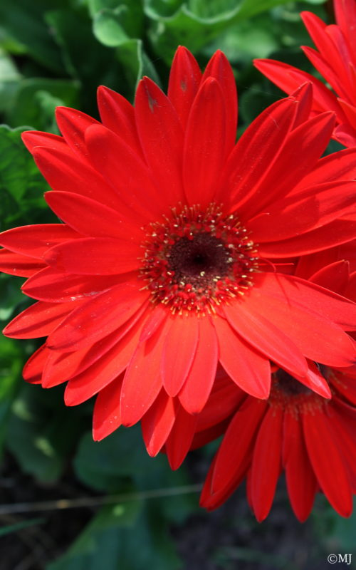 Gorgeous red gerbera daisies