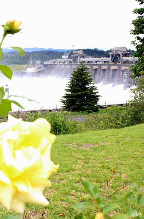 Yellow roses by the Bonneville Dam