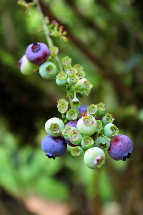 New blueberries in green and purple!
