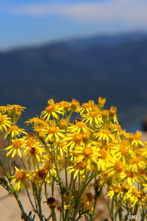 Yellow flowers on Angel's Rest
