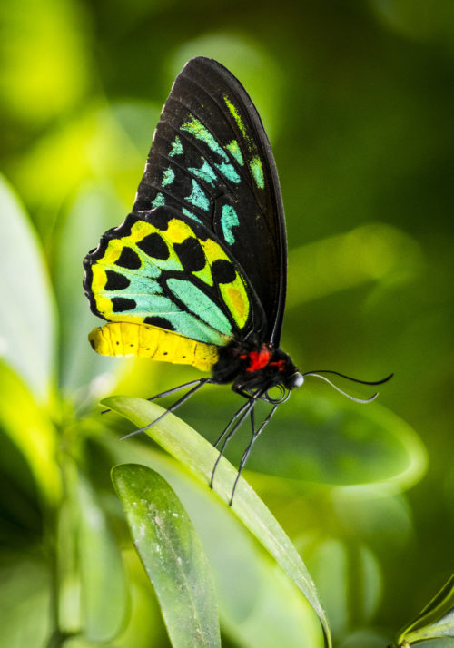 The Goliath Birdwing is a birdwing butterfly found in New Guinea, and is the second-largest butterfly in the world.