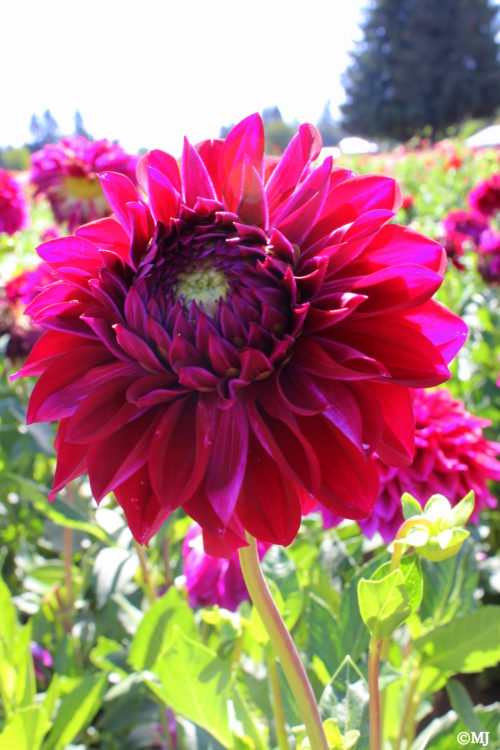 Standing out in a field of dahlias