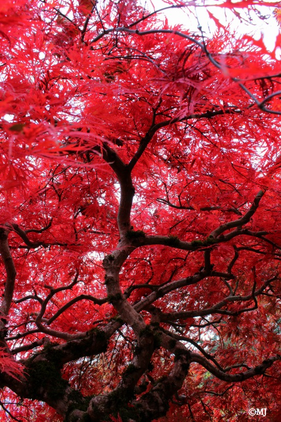 Japanese maple in all it's fall glory