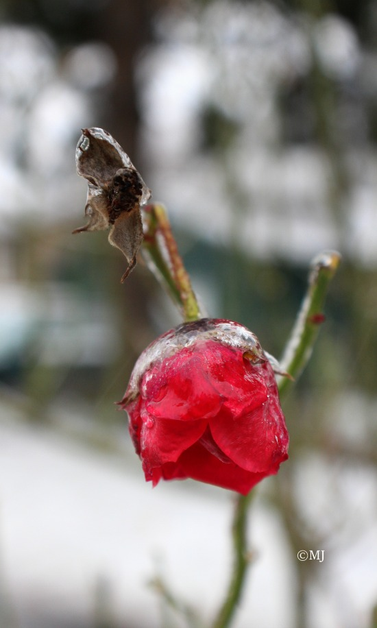 A rose, frozen in time, in this one moment, it's beauty preserved for all to see.