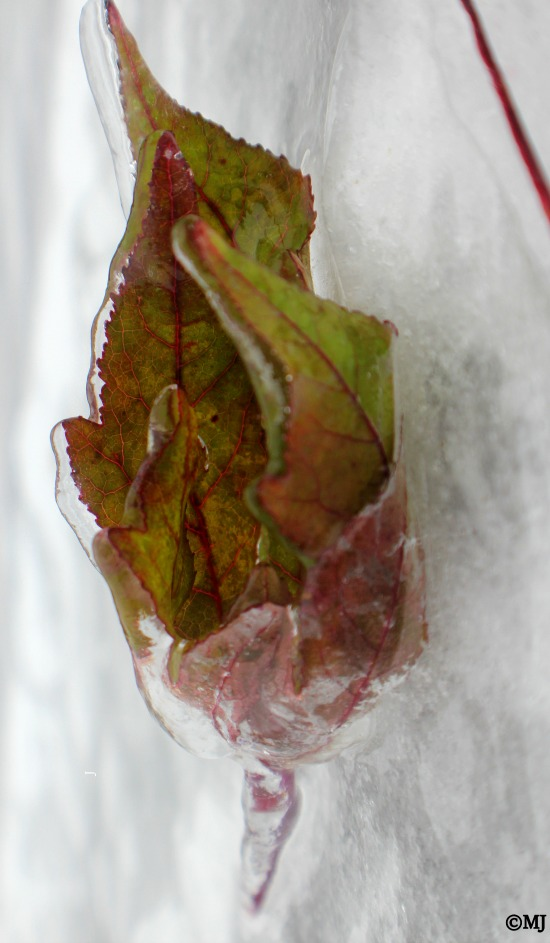 Delicate veins outline this newly turning autumn leaf caught up in the ice storm.