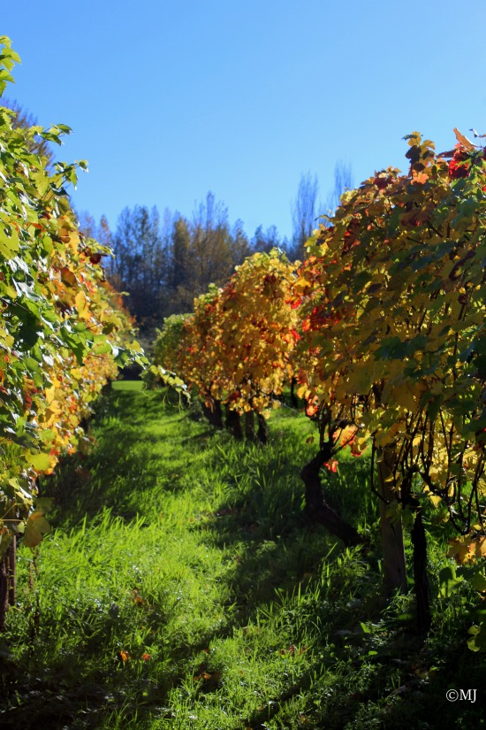 Edgefield vineyards in the fall