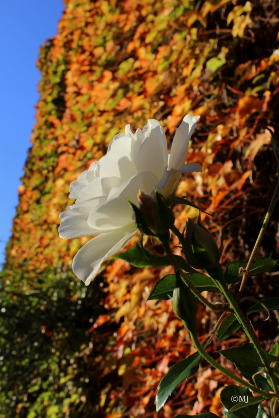 White rose against an ivy covered wall in autumn