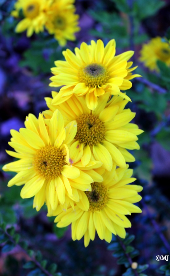 Brilliant yellow flowers