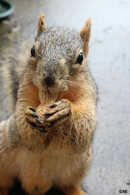 Mr. Squirrel eating a peanut