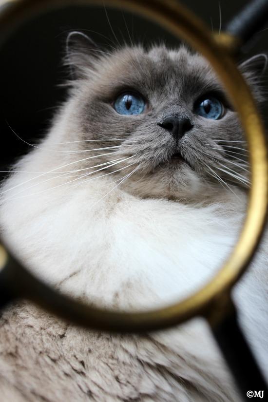 Sheba - framed