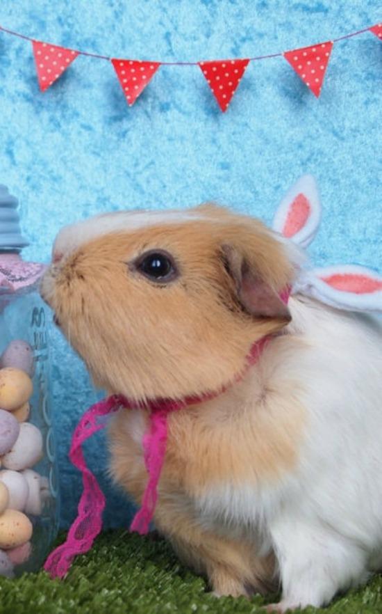 Bunny pig