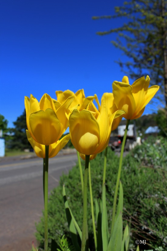 Tulips against a deep blue sky