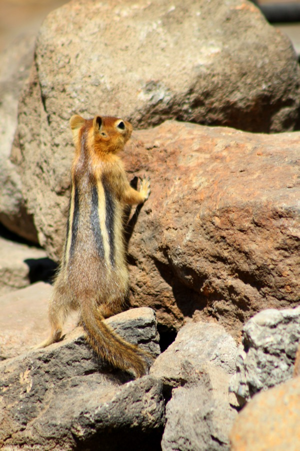 Flighty little chipmunk