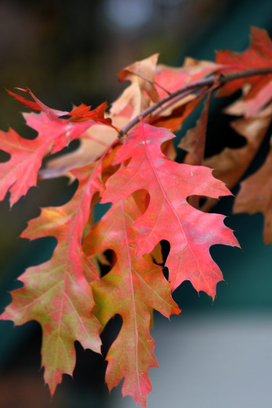 Oak leaves in the fall