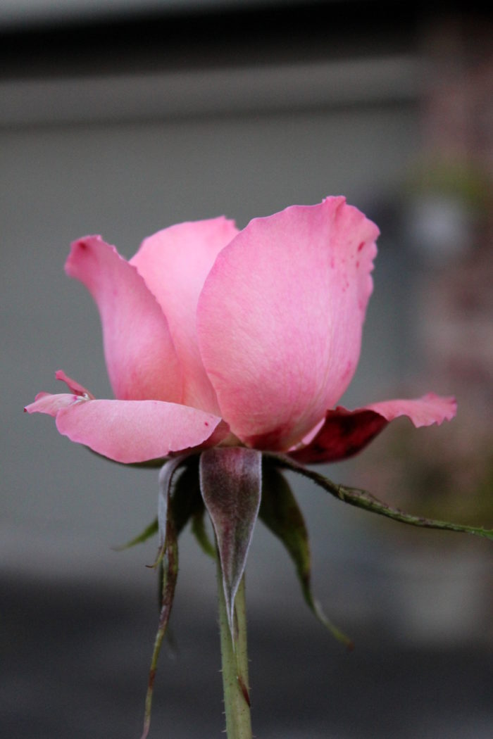 Pink rose, budding