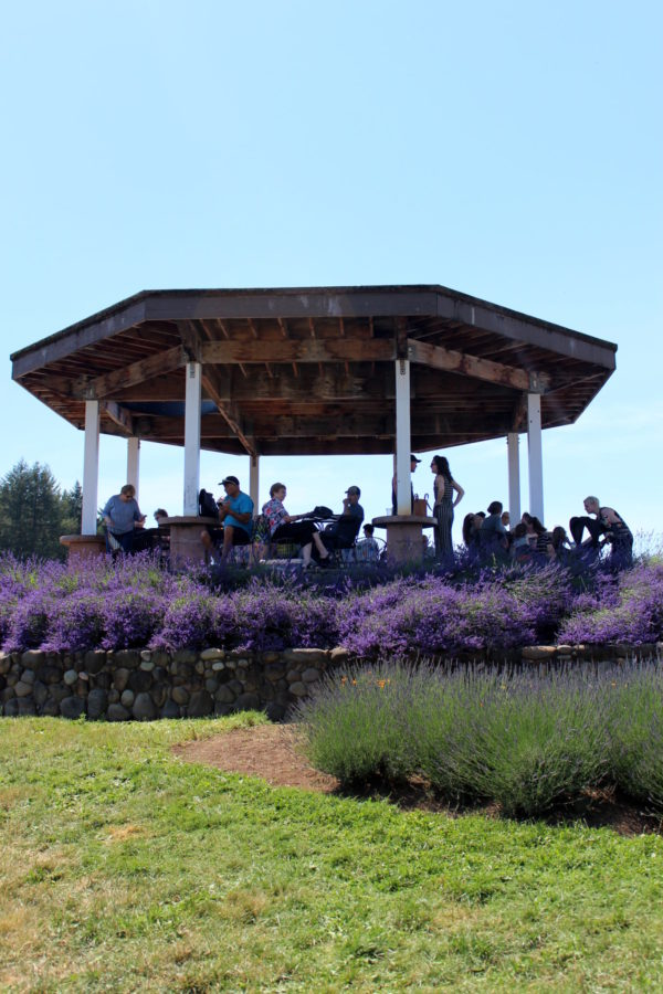 Gazebo surrounded by lavender