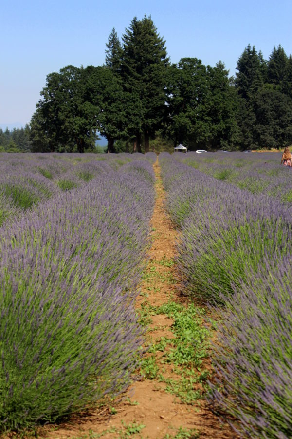 Lavender for days at the lavender festival!