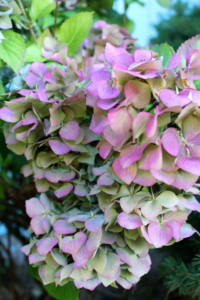 Purple and green hydrangeas